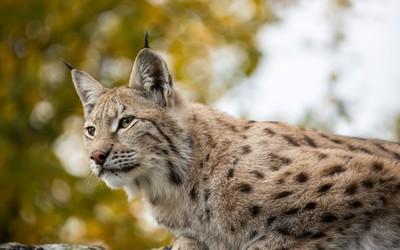 Cute lynx wallpaper