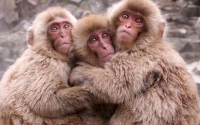 Cute monkeys hugging wallpaper