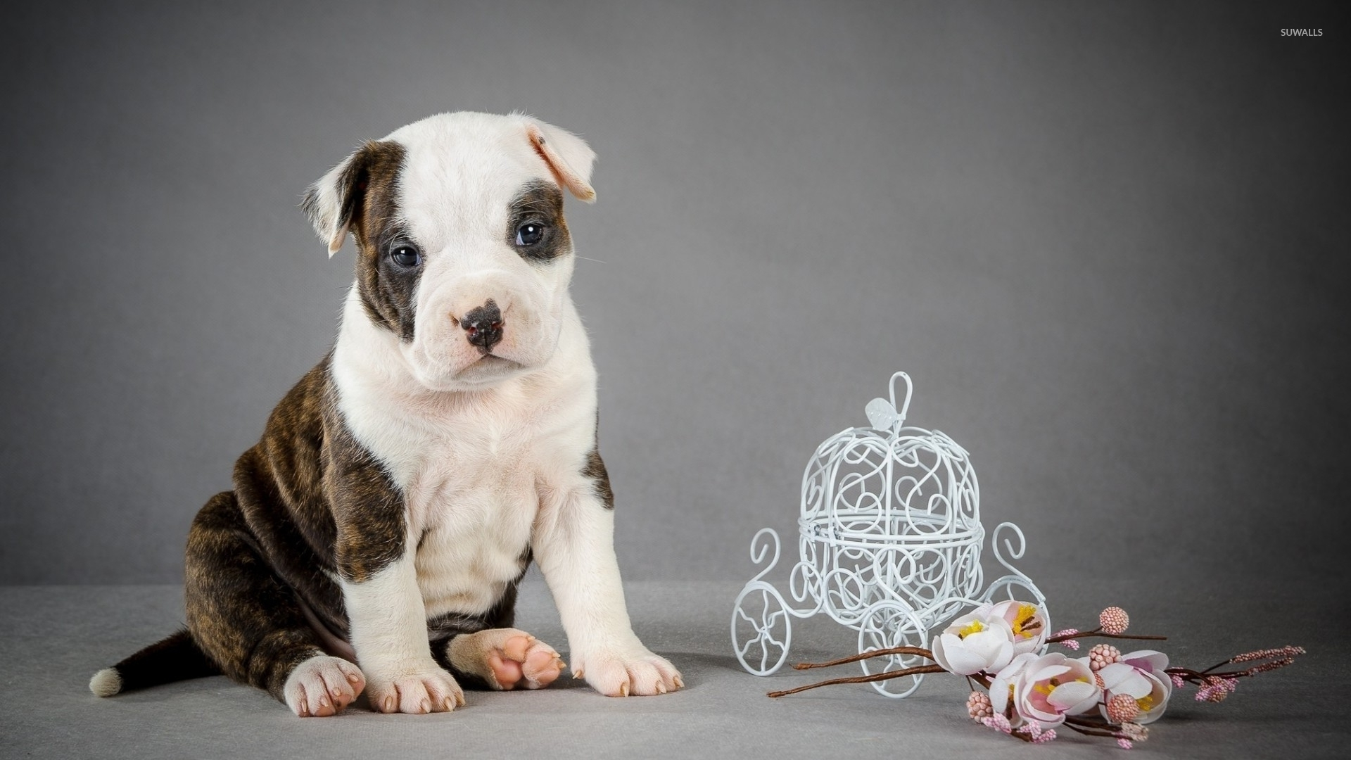 Cute Pitbull Puppy Wallpaper