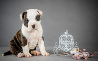 Cute pitbull puppy wallpaper 1920x1080 jpg