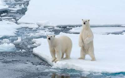 Cute Polar bears by the frozen water wallpaper