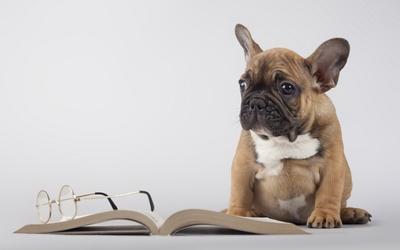 Cute pug puppy next to a book wallpaper