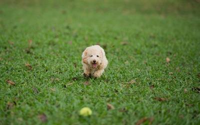 Cute puppie running after a tennis ball Wallpaper