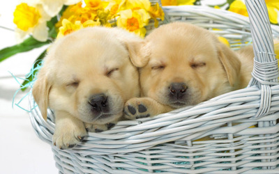 Cute puppies sleeping in a straw basket wallpaper