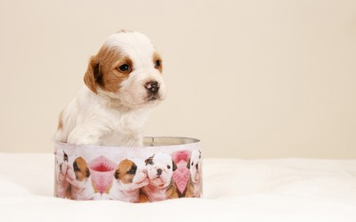 Cute puppy in a box wallpaper