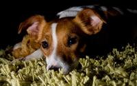 Cute puppy resting wallpaper 1920x1200 jpg