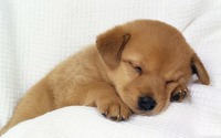 Cute puppy sleeping wallpaper 1920x1200 jpg