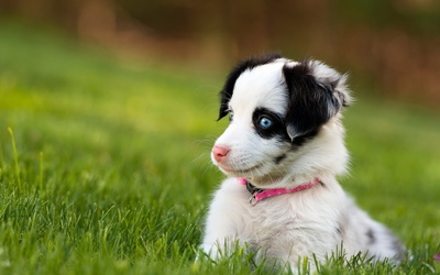 Cute puppy with beautiful blue eyes wallpaper