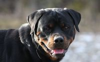 Cute Rottweiler with its tongue out wallpaper 1920x1200 jpg