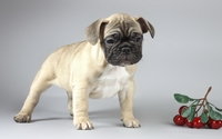 Cute sad pug puppy wallpaper 2560x1600 jpg