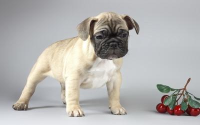 Cute sad pug puppy wallpaper