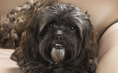 Cute Shih Tzu on a leather sofa wallpaper