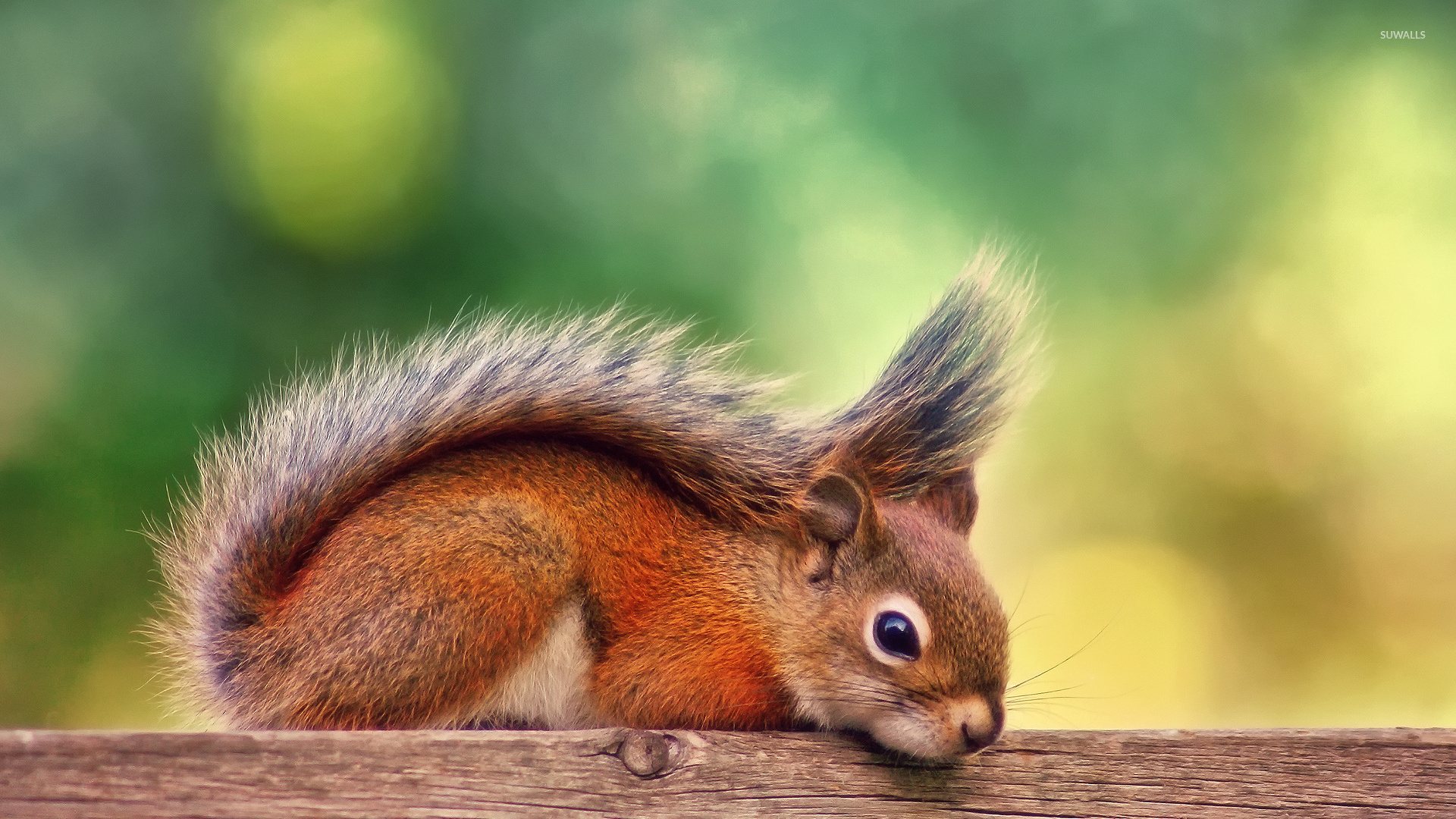 Cute squirrel wallpaper - Animal wallpapers - #39090