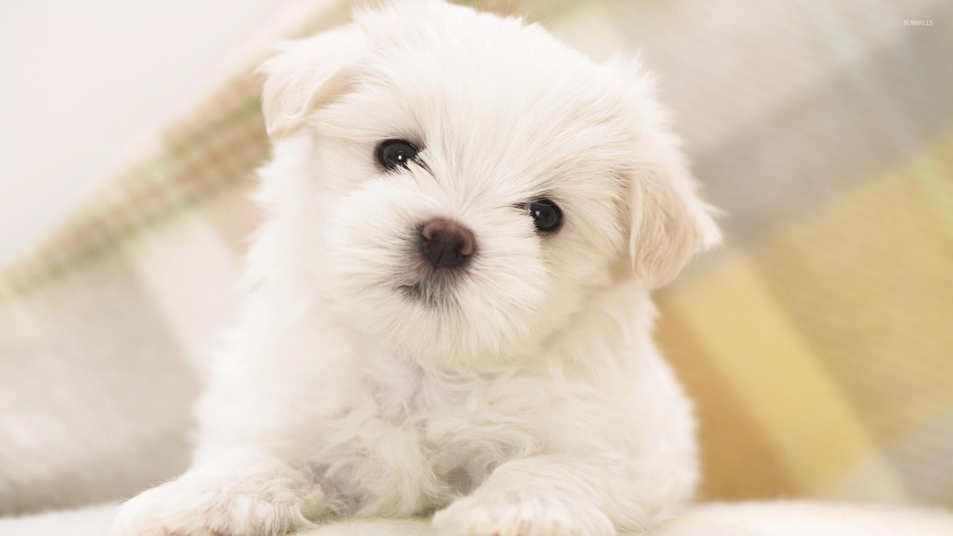 Cute white fluffy puppy with black eyes wallpaper Animal