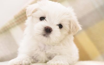 Cute white fluffy puppy with black eyes wallpaper