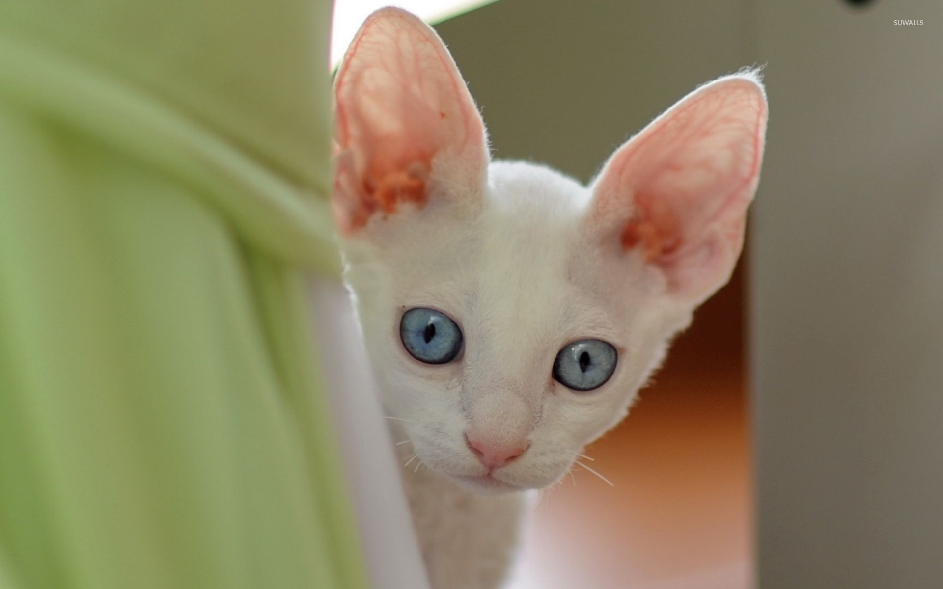 Cute white kitten with blue eyes wallpaper Animal wallpapers