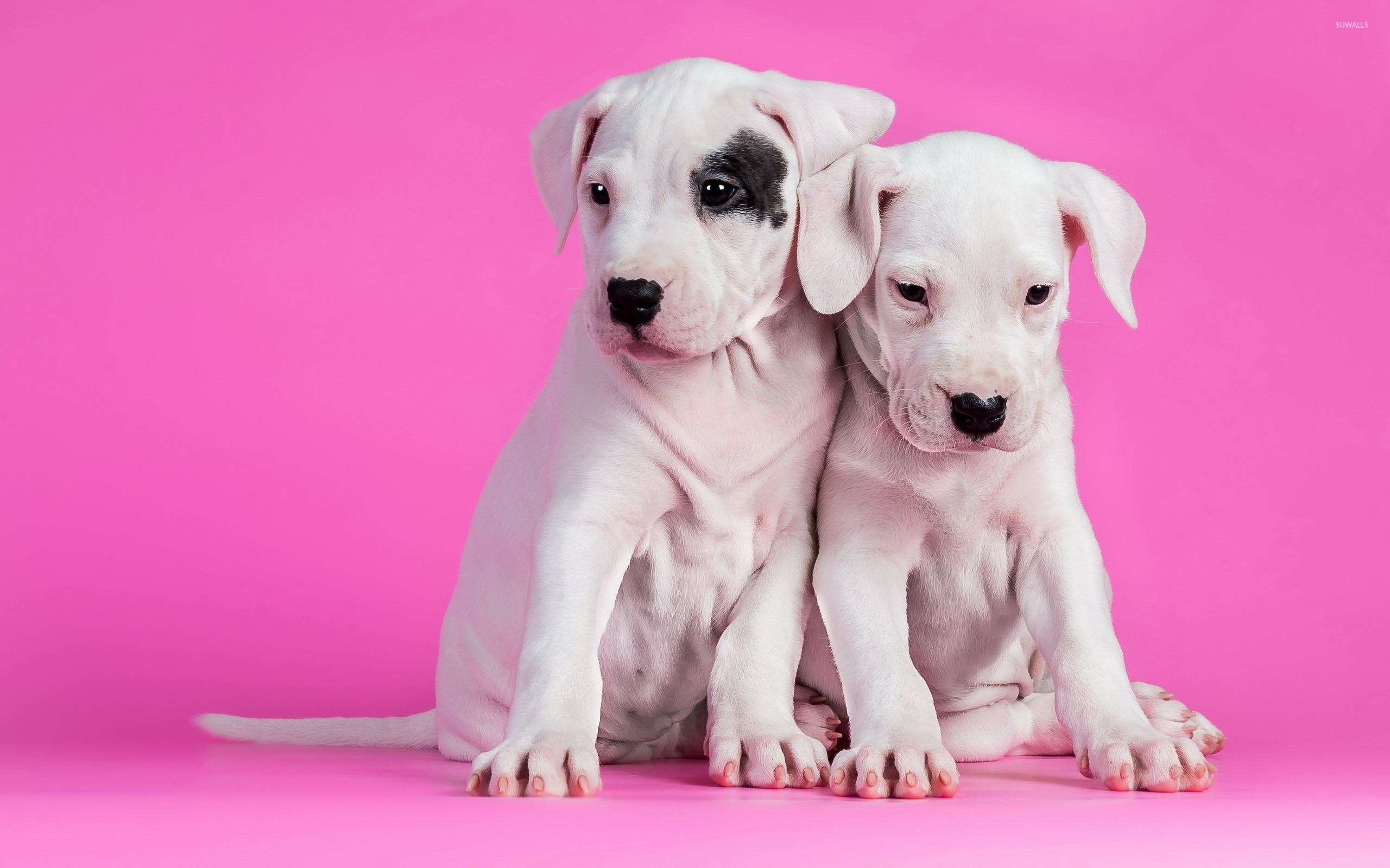 Cute White Puppies 2 Wallpaper Animal Wallpapers 39176