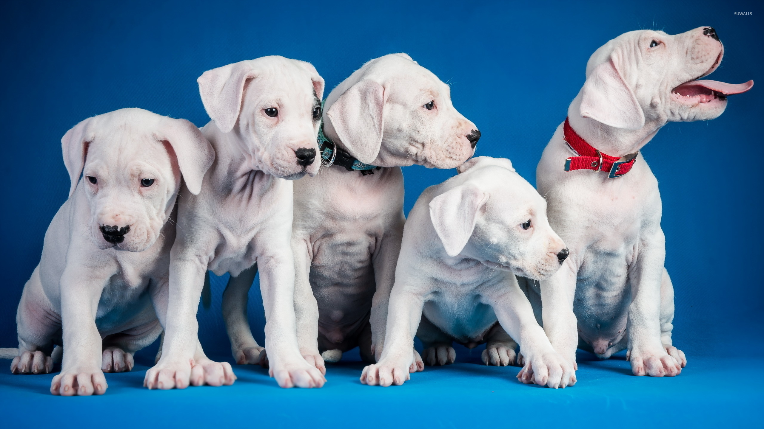 Cute White Puppies Wallpaper Animal Wallpapers 42327