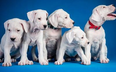Cute white puppies wallpaper