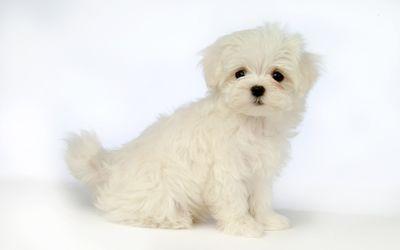 Cute white puppy [2] wallpaper
