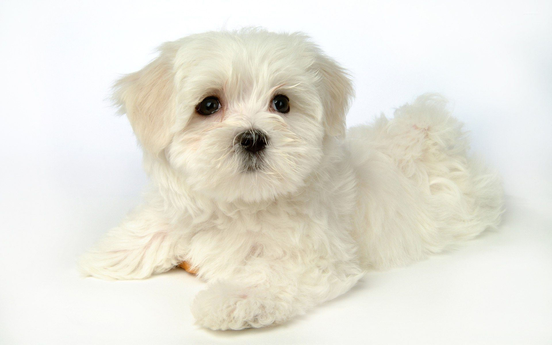 Cute White Puppy Wallpaper Animal Wallpapers 47754