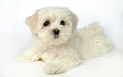 Cute white puppy wallpaper