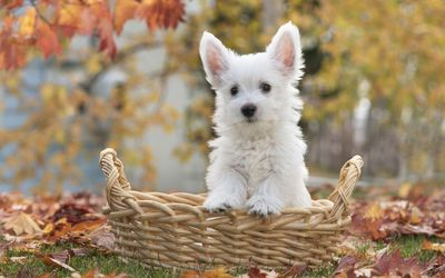Cute white puppy in a straw basket wallpaper