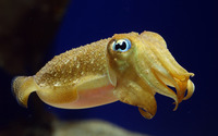 Cuttlefish wallpaper 2560x1600 jpg