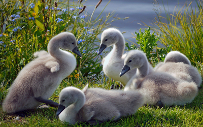 Cygnets on the lake side wallpaper