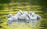 Cygnets swimming on water wallpaper 1920x1200 jpg