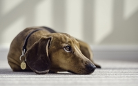 Dachshund [2] wallpaper 1920x1200 jpg