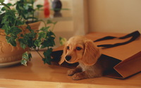 Dachshund Puppy wallpaper 1920x1200 jpg