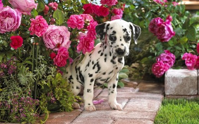 Dalmatian puppy wallpaper