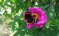 Dark butterfly on the pink flower wallpaper 3840x2160 jpg