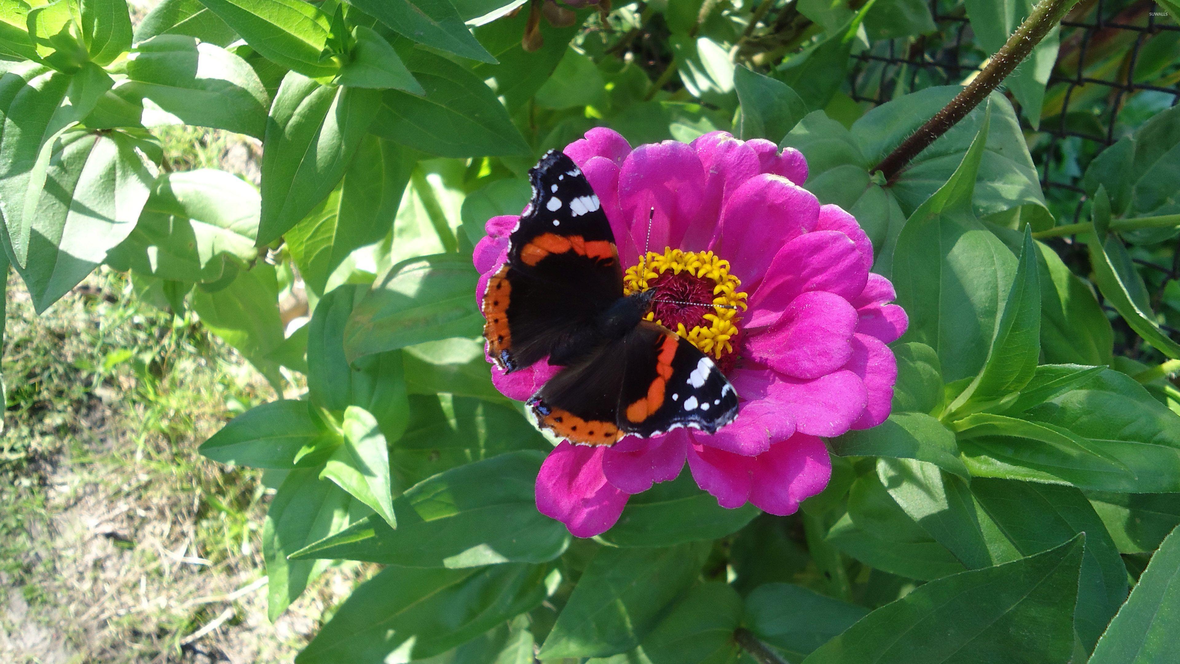 Dark butterfly on the pink flower wallpaper - Animal ...