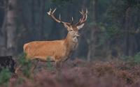Deer [4] wallpaper 2560x1600 jpg