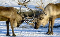 Deer fight on a winter day wallpaper 2560x1600 jpg