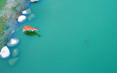 Deer in a pond wallpaper