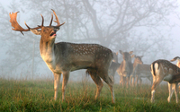 Deer on a foggy day wallpaper 1920x1200 jpg