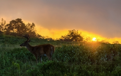 Deer on the field at sunset wallpaper