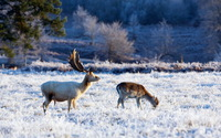 Deer on the white field wallpaper 1920x1200 jpg