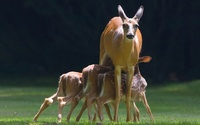 Deer with fawns wallpaper 1920x1200 jpg