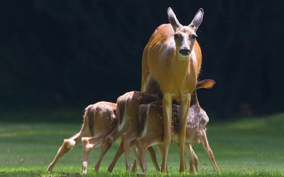Deer with fawns wallpaper