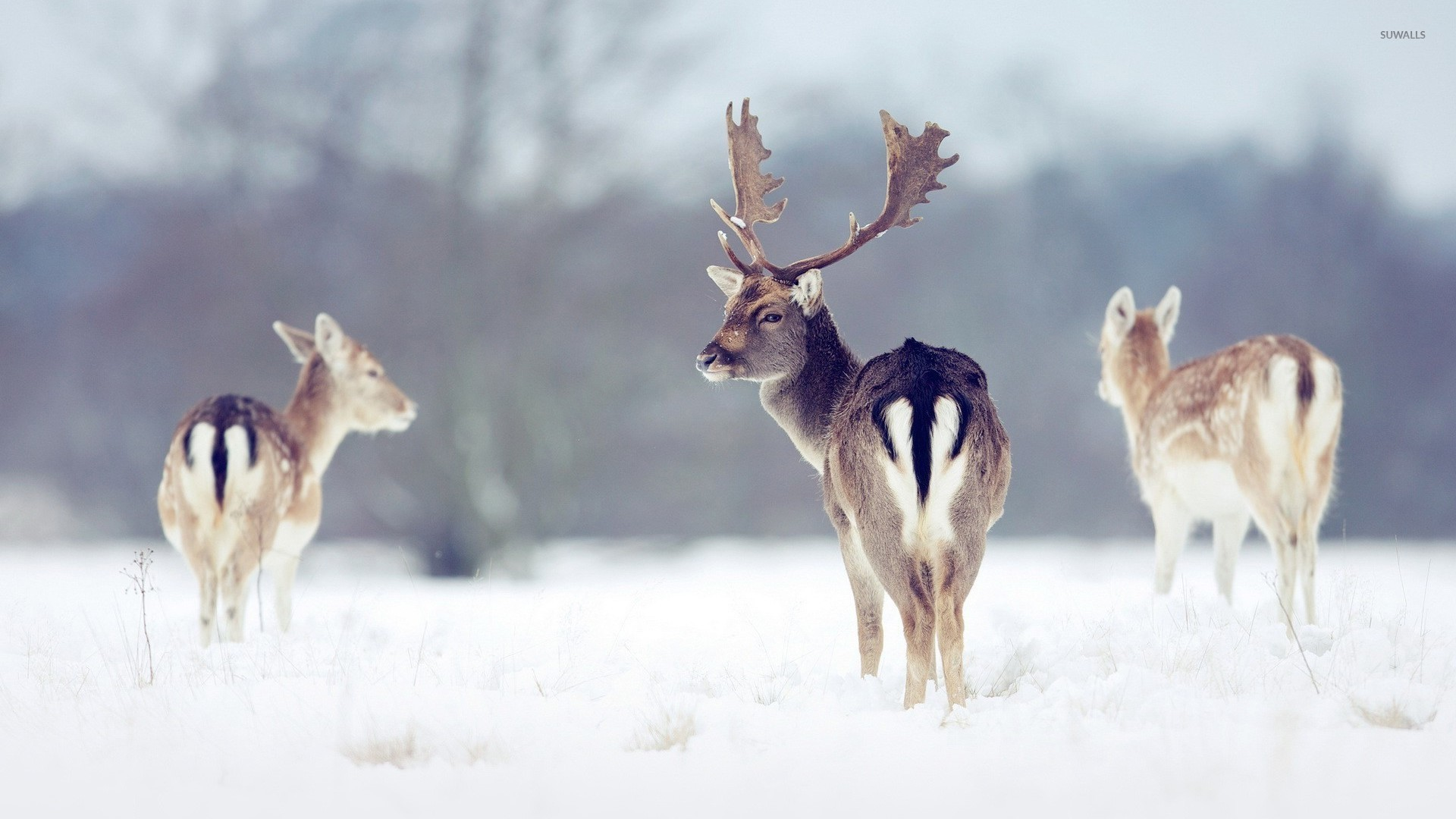 animal deer wallpaper 1920x1080 - photo #46