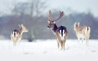 Deers in the snow wallpaper 1920x1200 jpg