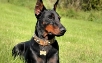 Doberman Pinscher wallpaper 1920x1200 jpg