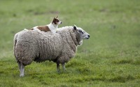 Dog and sheep wallpaper 2880x1800 jpg