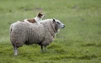 Dog and sheep wallpaper 2880x1800 jpg