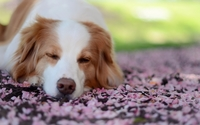 Dog asleep wallpaper 1920x1080 jpg