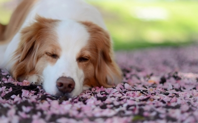 Dog asleep wallpaper